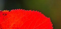 Saw (nikkorglass) Tags: autumn red abstract macro home colors leaves closeup garden saw nikon october bokeh blad micro nikkor impression f28 vr höst hemma trädgård röd färger d300 närbild löv 2011 såg 105mmvr okober nikkorglass