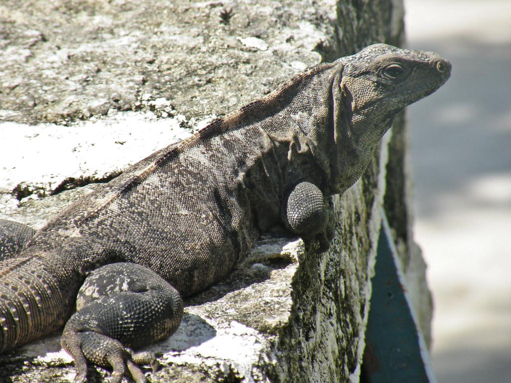 Iguana - Grand Riviera Princess Hotel, Riviera Maya, Mexico