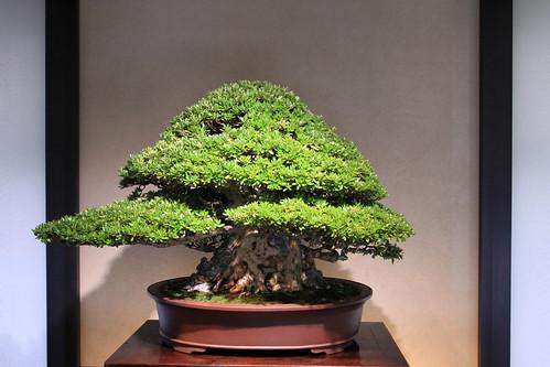 皐月(大盃) Satsuki Azalea - 盆栽美術館 - bonsai museum