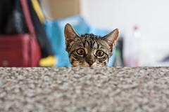 curiosité #3 (bruit_silencieux) Tags: pets cat canon kitten chat chaton ninka 40d unamourdechat