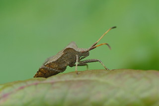 Dock Bug-Coreus marginatus