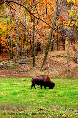 Bison (daniel.lilienkamp) Tags: autumn usa fall canon buffalo stlouis missouri digitalrebel bison hdr stlouiscounty valleypark loneelkpark stlouiscountypark 23oct2009