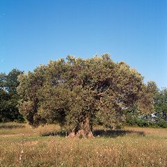 Olive Tree (Jean-Louis Piraux) Tags: france 6x6 mediumformat square mf provence olivetree 84 vaucluse mamiyac220 lubron gossenlunasix3 kodakektar100 tetenalcolortec sekor80