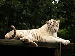 White Bengal tiger (Rick & Bart) Tags: animal cat zoo kat tiger tijger whitetiger dierentuin bengaltiger olmen wittetijger olmensezoo pantheratigristigris bengaalsetijger botg royalbengaltiger rickbart rickvink koningstijger