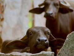 The Snarling Buffalo (airfoiln) Tags: buffalo calf