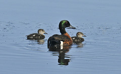 Chestnut Teal - with two of his gorgeous babies!!! (maureen_g) Tags: bird wildlife australia nsw centralcoast cantonbeach