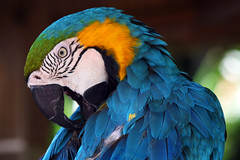 Blue and Yellow Macaw (thisisbrianfisher) Tags: blue bird nature yellow gardens zoo florida wildlife brian beak feathers feather parrot jungle fisher sarasota macaw brianfisher thisisbrianfisher