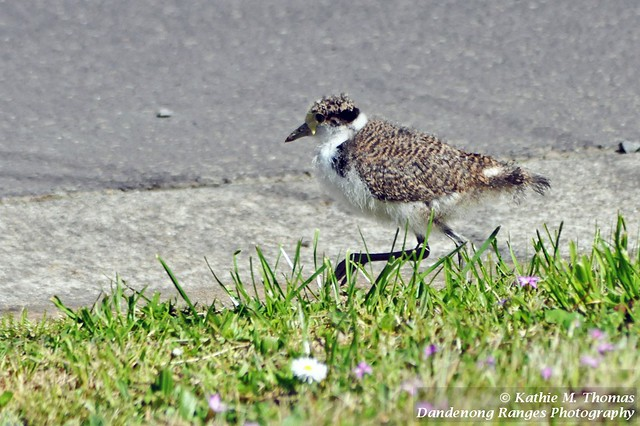 259-365 Masked Lapwing Plover chick