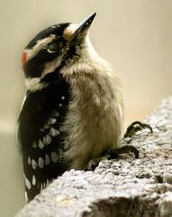 Sleepy Woodpecker (wisely-chosen) Tags: wild bird downywoodpecker september cameraraw 2011 canonef70300mmf456isusmlens adobephotoshopcs5extended