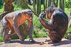 Hairless Baby Chimpanzee The Hairless Chimpanzee