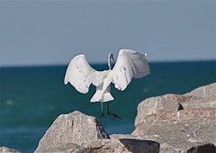 "Take Off  [Explored & Featured on the site of ""Soul 'o' Photography"" ] (The Spirit of the World) Tags: bird mexico rocks bajacalifornia fowl 1001nights egret fishingvillage sanfelipe autofocus naturesfinest specanimal 1001nightsmagiccity mygearandme mygearandmepremium"