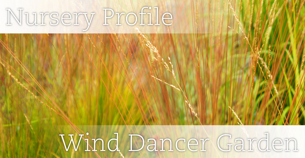 Wind Dancer Header