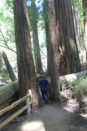 Getting through the trunks of redwood trees at Muir Woods, San Francisco