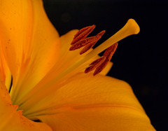 September 20, 2011 Lily (susiecw47) Tags: flower macro fleur closeup petals lily olympus potd stamen 365 e500