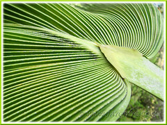 Costapalmate leaf of Pritchardia pacifica (Fiji Fan Palm, Pacific Fan Palm), Sept 20 2011