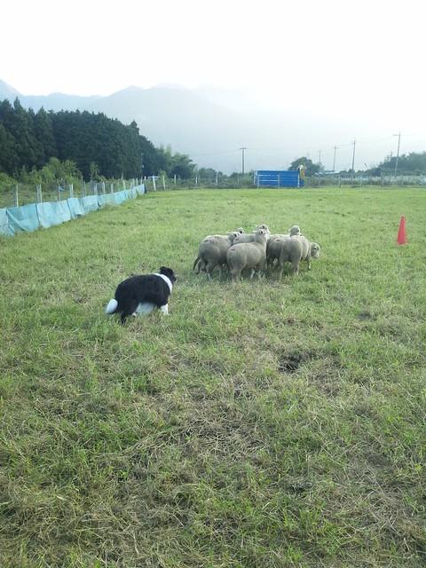ボーダーコリーが羊追いの練習中の写真