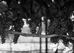 Cabernet (cacheboyz) Tags: monochrome vines grape cabernet