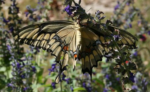 swallowtail underside