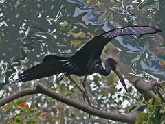 Black Egret (joybidge (back from vacation)) Tags: sandiegozoo blackegret naturepatternscanada trishcanada tsmay212011