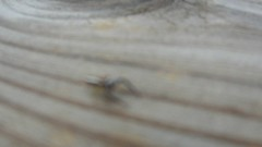 Bug (Travis S.) Tags: wood fence bug movie insect spider video arms northcarolina brunswick clip scorpion railing pinchers brunswicktown