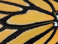 Monarch Wing Macro (dandjtaylor2003) Tags: nature garden butterflies insects bugs migration fllower wwwmonarchsnmilkweedcom