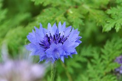 my favorite blue flower