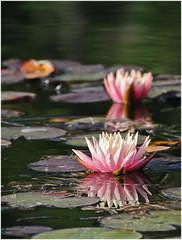 Water lilies! (vale.righettini) Tags: flowers nikon waterlilies fiori lilie merano 70300 waterflowers ninfea ninfee nikkor70300 trauttmansdorff d3000 fioriacquatici