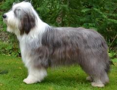 Fletcher (babskenara) Tags: dog happy sleepy snooze beardie beardedcollie bargemon barkenbear