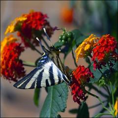 Mariposa - Butterfly (Pilar Azaa Taln ) Tags: planta luz butterfly lantana mariposa multicolor arbusto solysombra iphiclidespodalirius chupaleche pilarazaataln