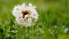 more dew droplets and bokeh (Nightstalker80) Tags: macro green nature grass austria droplets österreich drops sony a33 kärnten gras tau makro slt tropfen löwenzahn pusteblume faakersee tröpfechn