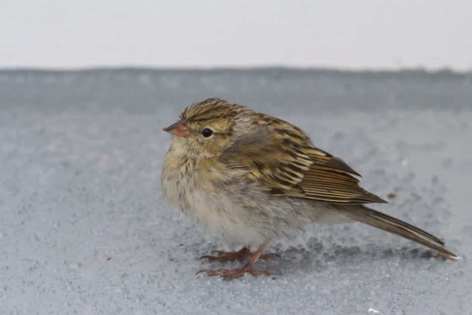 092411_bird_chippingSparrow02