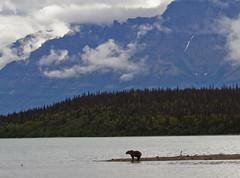Grizzlybear in the fall @ Katmai, Alaska. (Richard Verroen) Tags: bear mountains beer alaska clouds bears wolken bergen grizzly mammals brownbear grizzlybear beren bruinebeer katmai zoogdieren roofdieren grizzlybeer verroen richardverroen