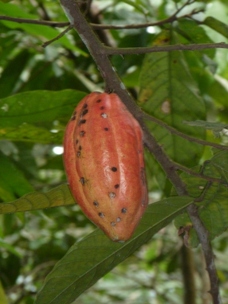 Cabosse de cacao Togo