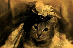 Mysterious Damsel... (KrazyBoutCats) Tags: cats pets texture animals mystery cat kittens mysterious felines bella catsinhats watswearinghats
