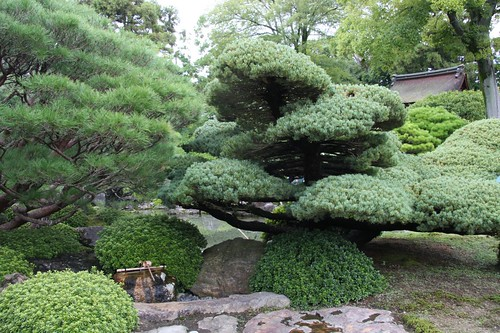 日本の美 / Garden with the Japanese white pine