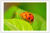 Borneon Tortoise Beetle (Ringgo Gomez) Tags: bigfav kfk macroextreme macrolicious topseven nikond90 tamronsp90mmmacro concordians elitephotography macromarvels macrolife sarawakborneo mygearandme