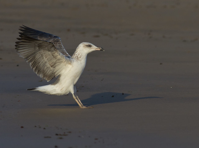yellow legged gull juvenile landing