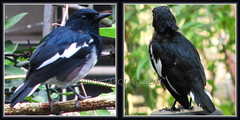 Black-billed Magpie at our backyard, Sept 9 2011