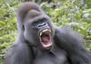 Gorilla 'Kumbuka' yawning (gentle lemur) Tags: gorilla paigntonzoo gggorilla