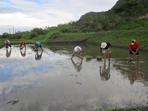 海稻插秧。(圖片來源:林務局)