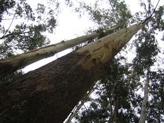 970. Tall Trees (profmpc) Tags: eucalyptus firewood munnar watertable talltree teaestates grandis kundala