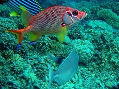 Underwater Maldives: Yellowfin Squirrelfish (presbi) Tags: top photographers snorkeling maldives tropicalfish maldive squirrelfish thudufushi pescitropicali bolifushi platinumheartaward pescescoiattolo brigettes mygearandme mygearandmepremium mygearandmebronze ringexcellence musictomyeyeslevel1