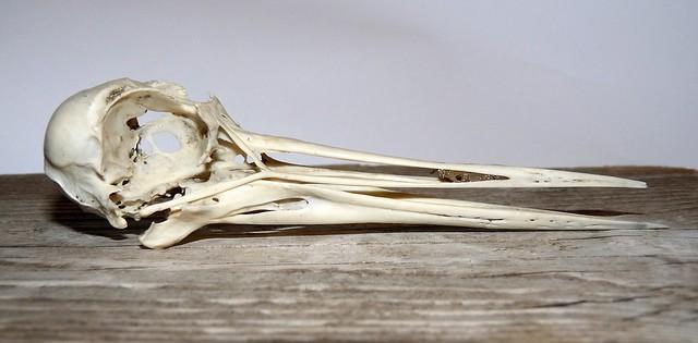 25164 - Oystercatcher Skull