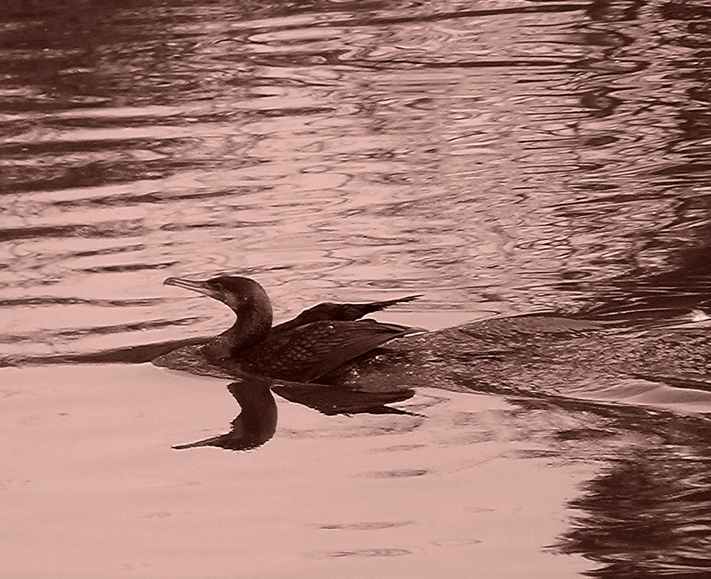 07-10-2011-cormorant-reflection