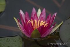 Nymphaea Newton (Waterlelie.be) Tags: belgië waterlilies 1910 nymphaea newton oostvlaanderen seerosen nénuphars waterlelies grembergen marliacrhizome latourmarliac nymphaeanewton