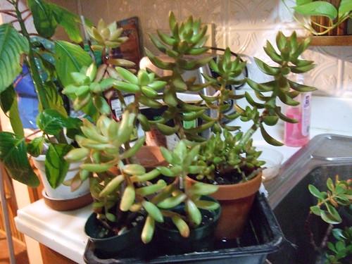 Succulents-10-16-11