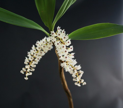 Eria flowering growth