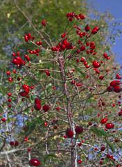 The red Passion (Fabrizio Gargiulo) Tags: red italy mountain nature sign foglie italia natura sicily fiore montagna sicilia primopiano particolare madonie pianobattaglia parcodellemadonie pianozucchi isnello pizzodipilo pizzocarbonara pizzodellaprincipessa pizzoscalonazzo