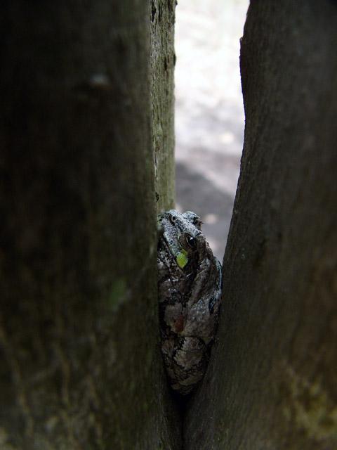 070505_treefrog