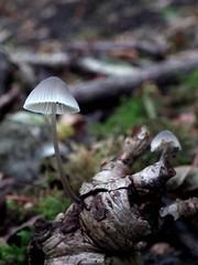 Mycena.sp (Derbyshire Harrier) Tags: autumn derbyshire fungus limestone cropped toadstool cressbrookdale whitepeak 2011 mycenasp